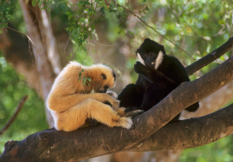 Gibbons on branch